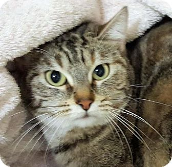Manx Cat for adoption in Red Bluff, California - LILLY