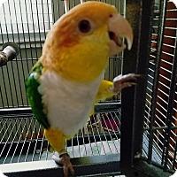 Adopt A Pet :: Sammi - St. Louis, MO