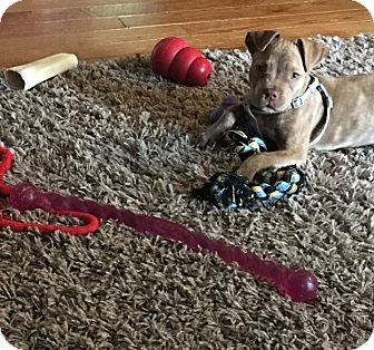 Pit Bull Terrier Mix Puppy for adoption in Baltimore, Maryland - Bubbles
