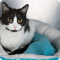 Adopt A Pet :: Evangeline - Wheaton, IL