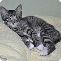 Adopt A Pet :: Violet -9 weeks- Stubby tail! - New Smyrna Beach, FL