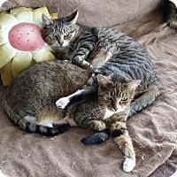 Adopt A Pet :: Cheetah - Rockaway, NJ
