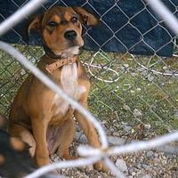 Adopt A Pet :: Brownie - Opelousas, LA