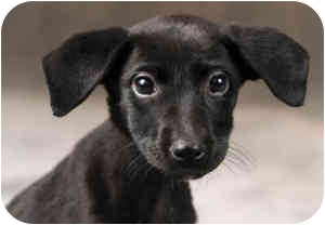 Labrador Retriever Mix Puppy for adoption in Chicago, Illinois - Gretel*ADOPTED!*