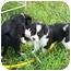 Photo 3 - Australian Shepherd Mix Puppy for adoption in Orlando, Florida - Sofie