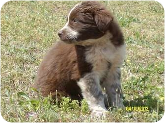 Border Collie Mix Puppy for adoption in Wilminton, Delaware - SR 39
