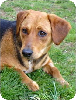 Beagle/Shepherd (Unknown Type) Mix Puppy for adoption in Litchfield, Connecticut - Biscuit