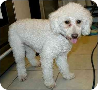Poodle (Miniature) Dog for adoption in Long Beach, New York - Lisa