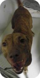 Pit Bull Terrier Mix Dog for adoption in Olathe, Kansas - Farrah