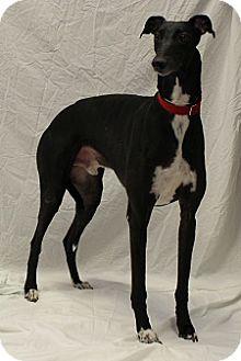 Greyhound Dog for adoption in Swanzey, New Hampshire - Magnum