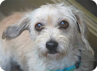 Wirehaired Fox Terrier/Dachshund Mix Dog for adoption in Norwalk, Connecticut - Lola