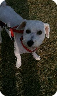 Poodle (Miniature)/Maltese Mix Dog for adoption in Orland Park, Illinois - Rocco