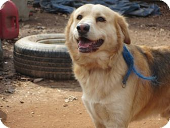 Collie/German Shepherd Dog Mix Dog for adoption in Conyers, Georgia - Prince