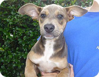 Doberman Pinscher/German Shepherd Dog Mix Puppy for adoption in Oviedo, Florida - Jim
