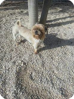 Shih Tzu Mix Dog for adoption in Homestead, Florida - Malcom