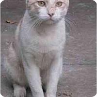 Adopt A Pet :: Shammy - Jenkintown, PA