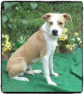 Siberian Husky/Labrador Retriever Mix Dog for adoption in Marietta, Georgia - JIMBO