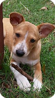 Corgi/Beagle Mix Puppy for adoption in Eden Prairie, Minnesota - Miley
