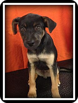 Feist Mix Puppy for adoption in Indian Trail, North Carolina - Doughnut