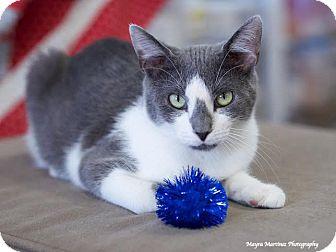 Domestic Shorthair Cat for adoption in Homewood, Alabama - Socks
