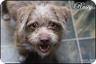 Terrier (Unknown Type, Small) Mix Dog for adoption in Rockwall, Texas - Rusty