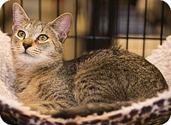 Domestic Shorthair Kitten for adoption in Charlotte, North Carolina - A..  Tiggie