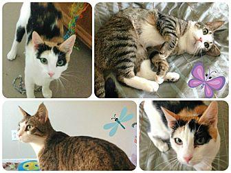 Domestic Shorthair Cat for adoption in Lancaster, California - Eddie