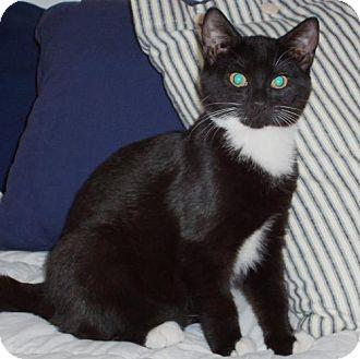 Domestic Shorthair Kitten for adoption in Wakefield, Massachusetts - Josie