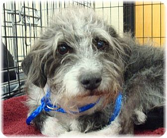 Terrier (Unknown Type, Small) Mix Dog for adoption in Las Vegas, Nevada - Romeo