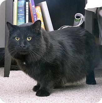 Maine Coon Cat for adoption in Chicago, Illinois - Meow Meow