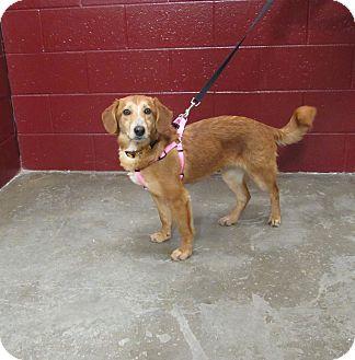 Beagle Mix Dog for adoption in Cameron, Missouri - Daisy