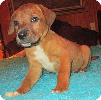 Labrador Retriever Mix Puppy for adoption in Waldron, Arkansas - CIARA