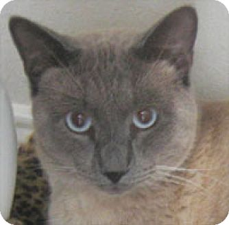 Domestic Shorthair Cat for adoption in Garland, Texas - Louie