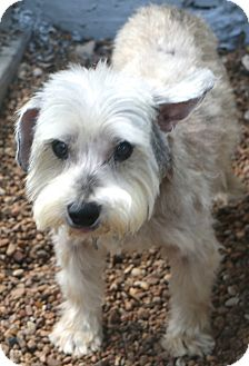 Schnauzer (Miniature) Mix Dog for adoption in Woonsocket, Rhode Island - Acorn