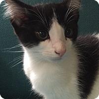 Adopt A Pet :: Lola 2 - Plainville, MA
