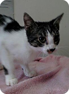Domestic Shorthair Kitten for adoption in Trevose, Pennsylvania - Adaline