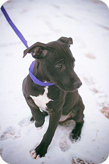 Terrier (Unknown Type, Medium)/Black Mouth Cur Mix Puppy for adoption in Stillwater, Oklahoma - Annaleise