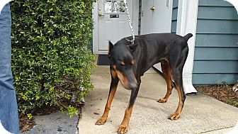 Doberman Pinscher Dog for adoption in Lloyd, Florida - Deuce
