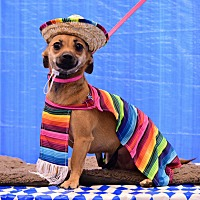 Dachshund/Chihuahua Mix Dog for adoption in Scottsdale, Arizona - Missy