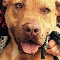 Pit Bull Terrier Mix Dog for adoption in Clifton, Texas - Sanders