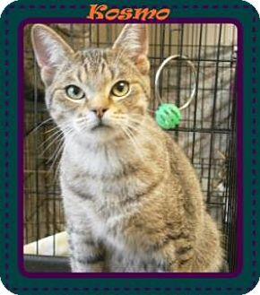 Domestic Shorthair Cat for adoption in Ortonville, Michigan - Kosmo