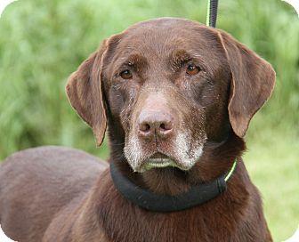 Labrador Retriever Mix Dog for adoption in Marietta, Ohio - Ana