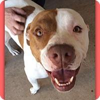 Adopt A Pet :: Willow Elfin 27751 - Pampa, TX