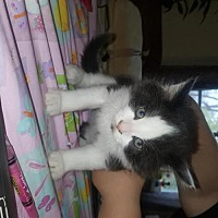 Adopt A Pet :: Cupcake - Rochester, NY
