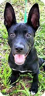 Shepherd (Unknown Type)/Pit Bull Terrier Mix Puppy for adoption in Key Largo, Florida - Bert