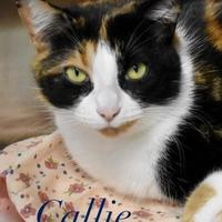 Domestic Shorthair/Domestic Shorthair Mix Cat for adoption in Port Hope, Ontario - Callie