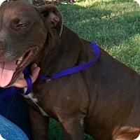 Adopt A Pet :: Coco - East Hartford, CT