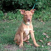 Adopt A Pet :: Sophia - parissipany, NJ