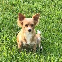 Adopt A Pet :: Goldie - Davie, FL