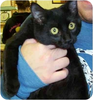 Domestic Shorthair Cat for adoption in Somerset, Pennsylvania - Lorence